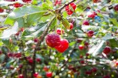 Körsbär i rengöringsduken efter regnet Royaltyfri Fotografi