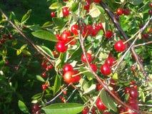 Körsbär i trädgården Arkivbilder