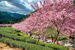 Körsbär- och teträdgård i Taiwan arkivfoto