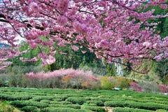 Körsbär- och teträdgård i Taiwan royaltyfria foton