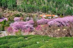 Körsbär- och teträdgård i Taiwan royaltyfri foto