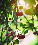 Körsbär på en förgrena sig Arkivfoto