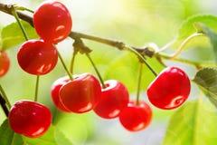 Körsbär på en trädfilial royaltyfria foton