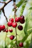 Körsbär på ett körsbärsrött träd Royaltyfria Foton