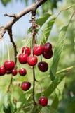 Körsbär på ett körsbärsrött träd Royaltyfri Fotografi