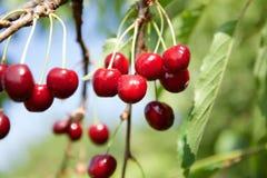 Körsbär på ett körsbärsrött träd Fotografering för Bildbyråer