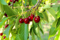 Körsbär på ett körsbärsrött träd Arkivfoto
