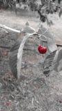 Körsbär på grå bakgrund Arkivfoton