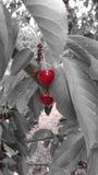 Körsbär på grå bakgrund Royaltyfri Foto