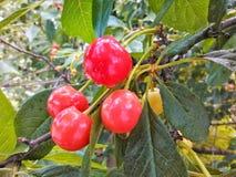Körsbär på körsbärsrött träd Royaltyfri Bild