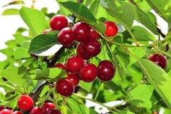 Körsbär på träd Royaltyfri Fotografi