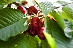 Körsbär på trädet Arkivfoton