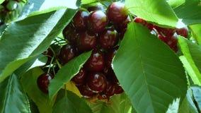 Körsbär på trädet arkivfilmer