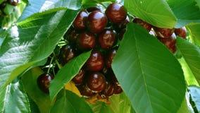Körsbär på trädet lager videofilmer