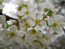 Körsbär på våren Arkivfoton