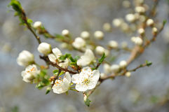 Körsbär-plommon blomningar Royaltyfri Fotografi