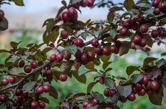 Körsbär-plommon frukt Arkivfoton
