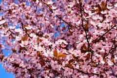 Körsbär-, Prunuscerasusblomning med rosa blommor och några röda sidor, PrunusCerasifera Pissardii träd på en bakgrund för blå him royaltyfri foto