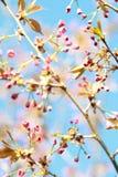 Körsbär som går att blomma Arkivbilder