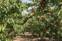 Körsbär som hänger det körsbärsröda trädet Arkivfoto
