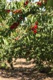 Körsbär som hänger det körsbärsröda trädet Arkivbilder