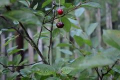 Körsbär som hänger på en filial för körsbärsrött träd royaltyfri fotografi