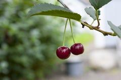 Körsbär som hänger på en filial för körsbärsrött träd Arkivfoto