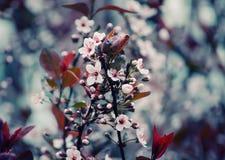 Körsbär-träd blommor Arkivbilder