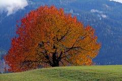Körsbär-träd i höst; prunusavium Royaltyfri Bild