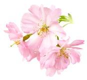 Körsbärblomningar som isoleras på vit Arkivfoto