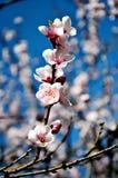 Körsbäret blommar i blomning Arkivfoto