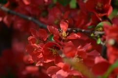Körsbäret blommar i vårsol Arkivfoto