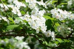 Körsbäret blommar på våren Arkivfoto