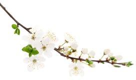 Körsbäret blommar på vit Arkivfoton
