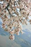 Körsbäret blomstrar limbs arkivbild