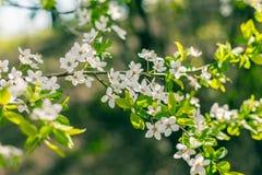 Körsbäret förgrena sig vita blommor Royaltyfri Foto