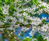 Körsbäret förgrena sig vita blommor Arkivfoton