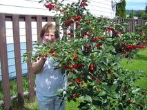 Körsbäret skördar med den höga damen Fotografering för Bildbyråer