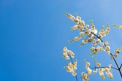 Körsbärsröd blom i Frankfurt Fotografering för Bildbyråer