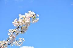Körsbärsröd blom i Frankfurt Royaltyfri Bild