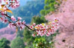 Körsbärsröd blom och bakgrund Arkivbild