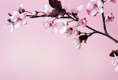 Körsbärsröd blomma Arkivbilder