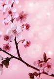 Körsbärsröd blomma Royaltyfria Foton