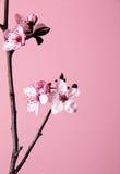 Körsbärsröd blomma Royaltyfri Foto