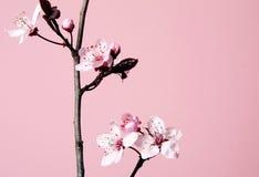 Körsbärsröd blomma Arkivfoto