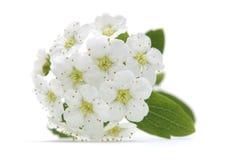 Körsbärsröd blomma i blomcloseup Royaltyfri Bild