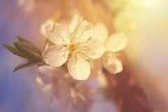 Körsbärsröd blomma i vår Royaltyfria Foton