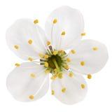Körsbärsröd blomma på vit arkivfoto