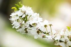 Körsbärsröd blommafilial arkivbilder