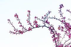 Körsbärsröd blommafilial Royaltyfri Bild